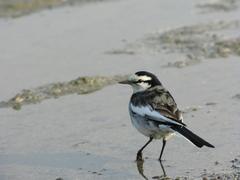 A small bird strolls