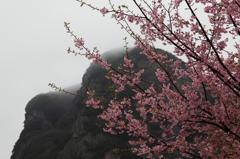 大仁の河津桜
