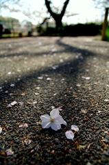 地上の枝に咲くサクラ・・・