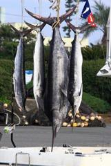 神津(こうず)島で釣ったカジキ