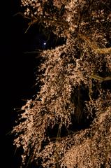 枝垂れ桜と月