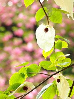 桜色のハンカチーフ♪