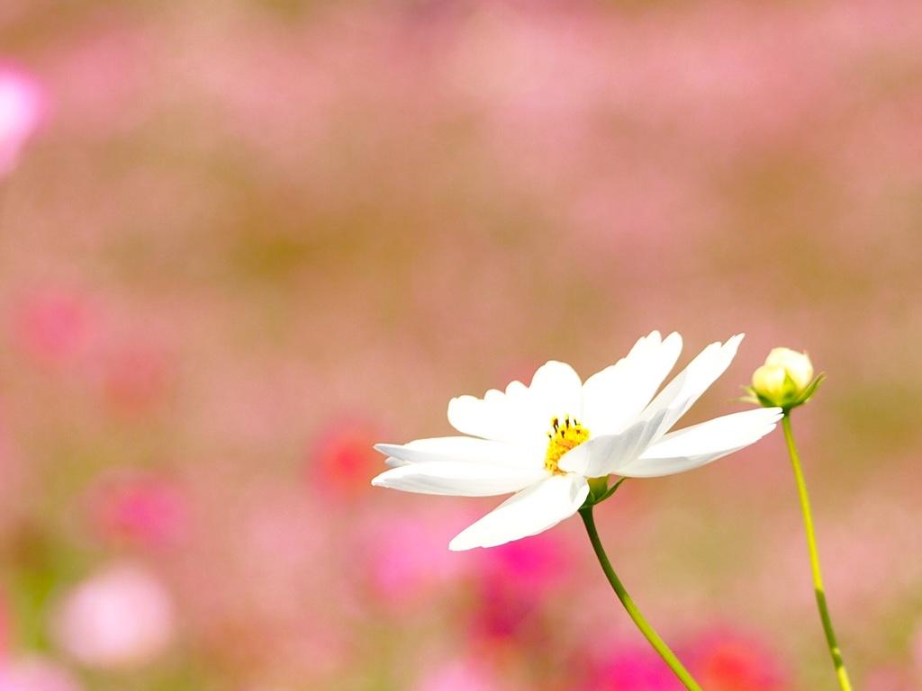 秋桜の丘♪  2