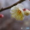 早咲きの梅