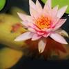 錦鯉の花冠