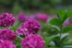 アジサイ紫
