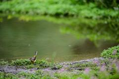 水辺のキセキレイ