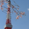 Tokyo cherry trees & Tokyo tower