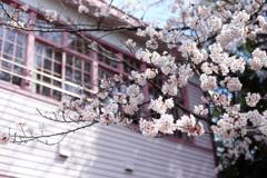 櫻花と學び舍