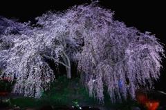 枝垂れ桜ライトアップ