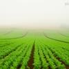 にんじん畑