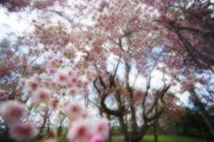 伊達市館山公園のシダレザクラ