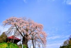 一番会いたい桜