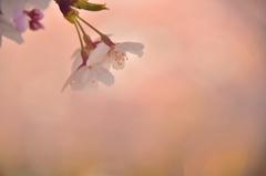 優しい気持ちで…桜