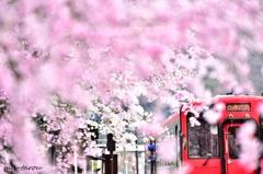 桜、溢るる駅