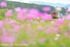 秋桜坂を上るのです