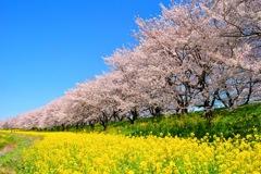 The Sakura 。