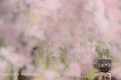 桜カーテン、はらり