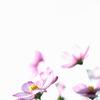 花言葉は乙女の純潔