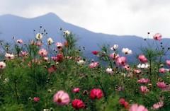 コスモスのある風景