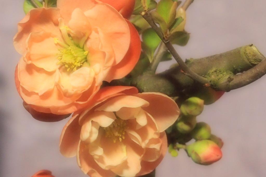 ボケの花 3