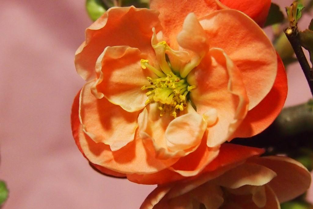 ボケの花 1