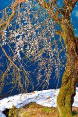 梅花と残雪