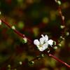 真冬の雪柳