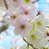 おおしま桜