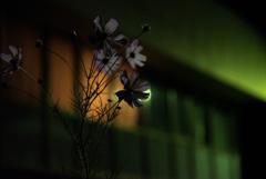 街灯のコスモス