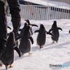 ペンギンの雪中さんぽ さあ!帰るぞ~!