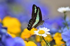 アオスジアゲハの美