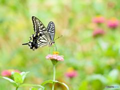 ジニア畑のアゲハチョウ
