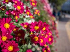 秋真っ盛り‥街路の菊花