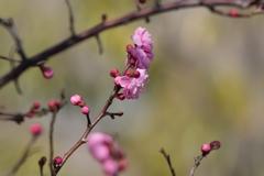 小春日和に梅が咲く‥