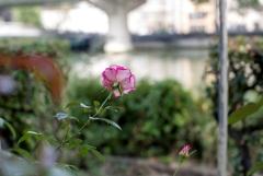 川辺の彩‥名残薔薇