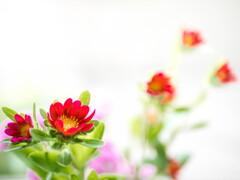 春、かわいく‥赤い花