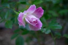 晩秋の薔薇‥名残咲き