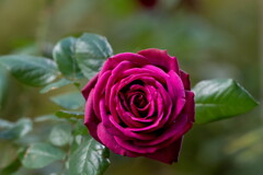 秋深まって、紅薔薇