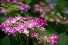 紫陽花が咲いて、梅雨間近‥