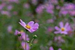 暑くても秋の花‥コスモス