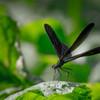 中秋に、夏の名残のハグロ飛ぶ・・
