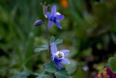 春色紫・・オダマキ