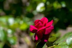 夏の陽射しに‥赤いバラ