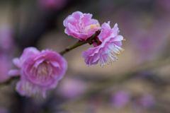 雨を飾りに梅の花‥