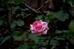 春の名残‥薔薇
