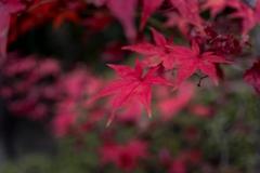 初冬に染まる‥終焉の赤