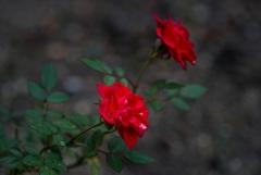 しずく化粧‥師走の薔薇