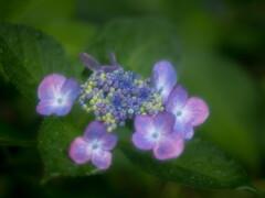 湿気~っと濡れて‥紫陽花
