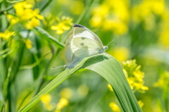 蝶、超・濃厚接触‥モンシロチョウ